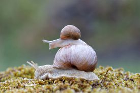 stock photo of garden snail  - Baby snail hitchhiking on top of a larger snail in green moss - JPG