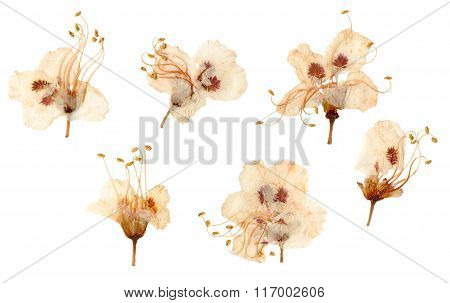 Pressed And Dried Plum Flowers