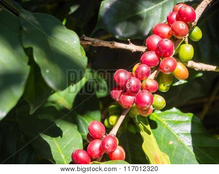 Coffee Beans On Trees
