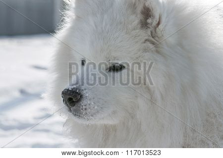 Close-up Portrait Samoyed Husky