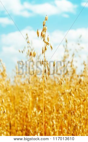 field with oats golden color. soft focus