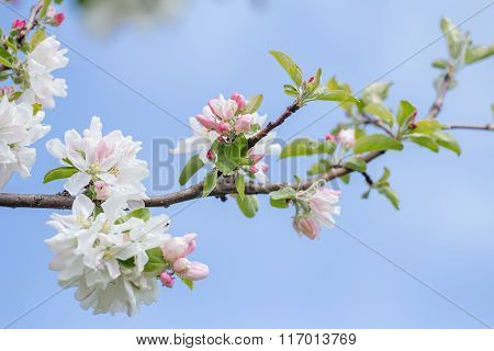 Spring softness of pink and white apple tree flowers on branch