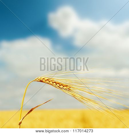 yellow wheat ear on field and blue sky with clouds over it. soft focus
