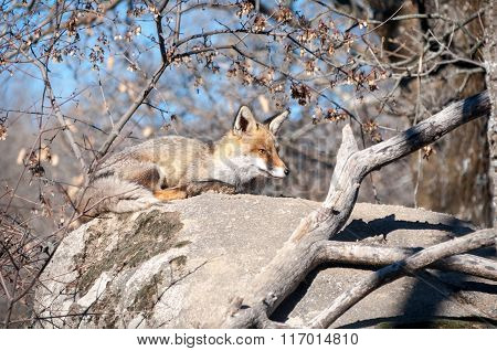 Fox Lying On A Rock Resting Under The Hot Sun - 2