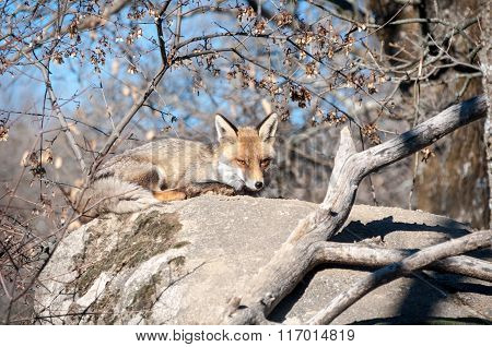 Fox Lying On A Rock Resting Under The Hot Sun - 3