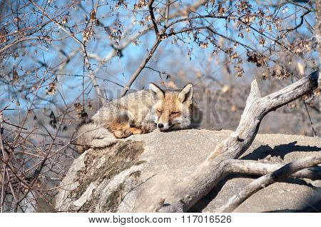 Fox Lying On A Rock Resting Under The Hot Sun - 9