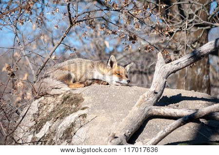 Fox Lying On A Rock Resting Under The Hot Sun - 13