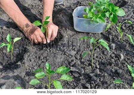 Farmer Planting A Pepper Seedling