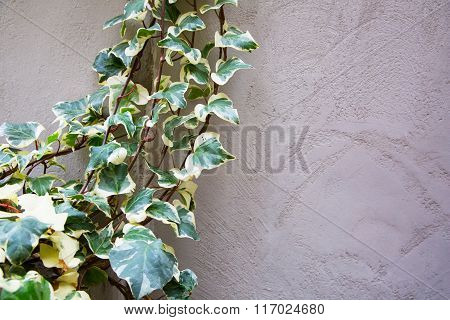 Green Ivy On The Old Textured Wall