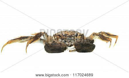 Chinese Mitten Crab Eriocheir Sinensis Isolated On White