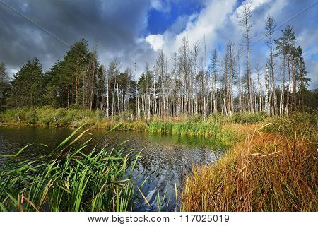 Birch trees growing in a swamp. Autumn Latvia landscape.