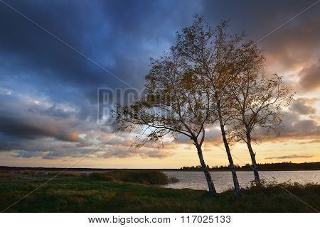 Birch Trees In Autumn On A River Shore. Latvia