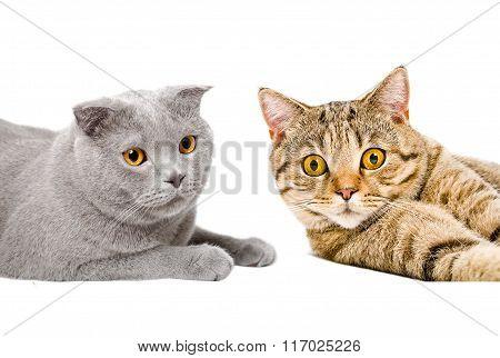 Portrait of cats Scottish Straight and Scottish Fold