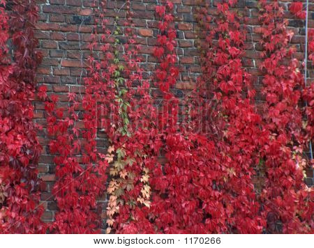 Red Autumn Foliage Creeping On The Brick Wall