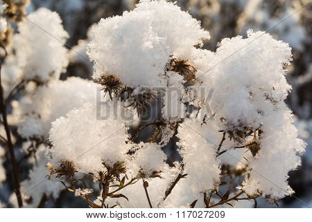 Dry Wildflowers Under Snow Closeup