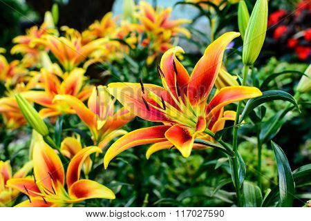 Orange And Yellow Asiatic Lily Flowers Blooming