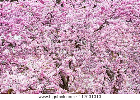 Vibrant spring background texture with beautiful pink cherry blossom, Sakura flowers