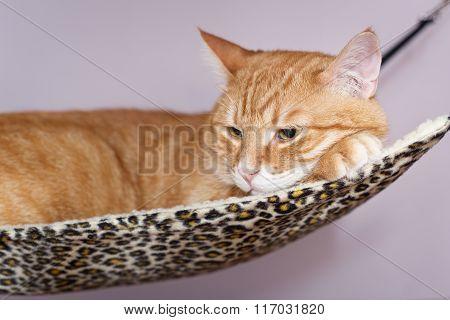 Big  Cat Lying  In The Hammock