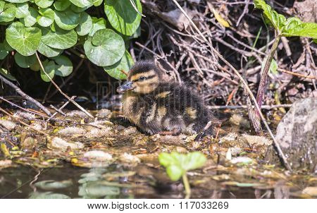 Mallard Duckling, Sitting Beside A Small River