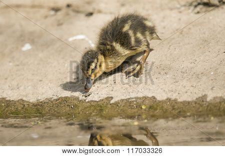 Mallard Duckling, Beside A Small River, Looking For Food