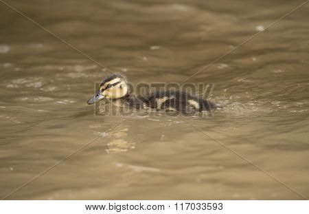 Mallard Duckling, Swimming Down A Small River