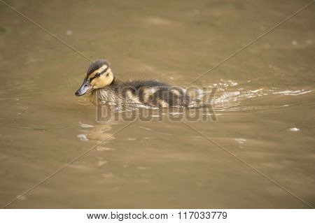 Mallard Duckling, Swimming Down A Small River