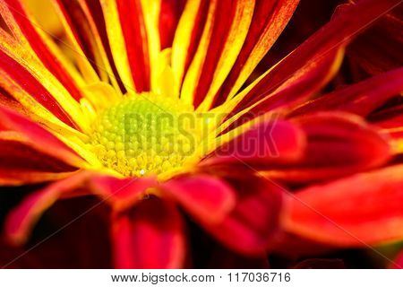 Red And Yellow Gerbera Daisies Flowers