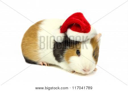 Guinea Pig In Hat Of Santa Claus.
