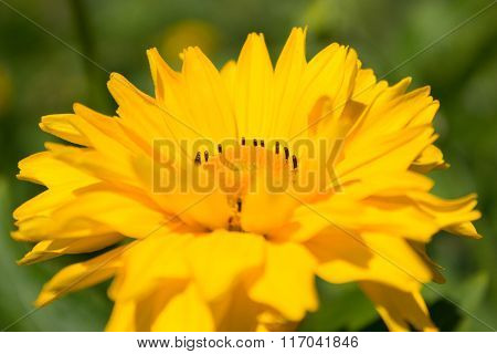 Yellow Flower Closeup .