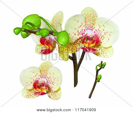 Yellow Orchid, Isolated