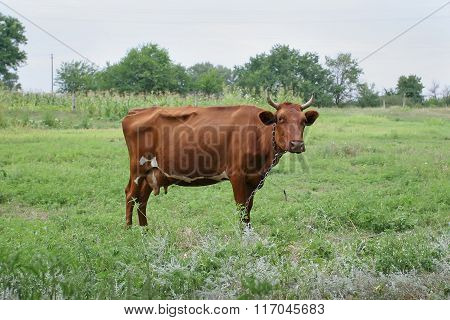 Brown Cow Grazes On Cash Meadow