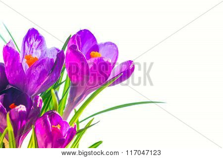 First Spring Flowers, Bouquet Of Purple Irises