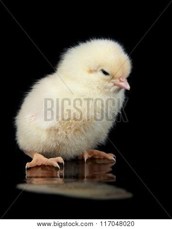 The Yellow chick on the black background