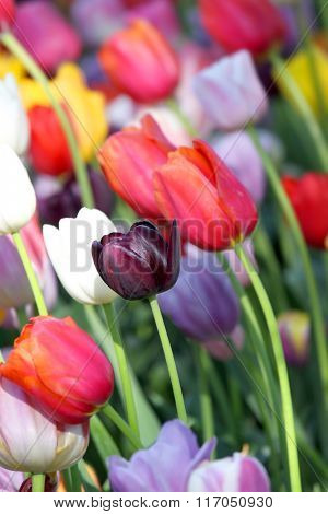 Many colorful tulip flowers in the garden