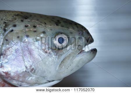 Fresh rainbow trout.