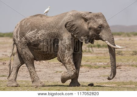 Bull Elephant In Amboseli, Kenya