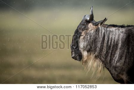 A White Bearded Wildebeest Standing In The Rain In The Ngorongoro Crater In Tanzania
