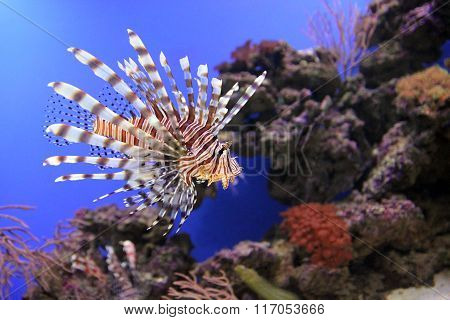 Red lionfish underwater