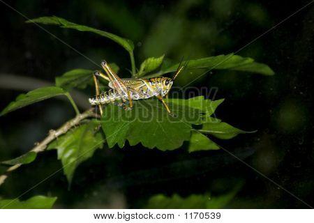 Grasshopper Au Natural