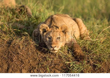 A Lion Cub In The Ngorongoro Crater In Tanzania