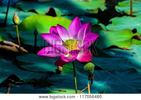 Pink Lotus was blooming in the swamp