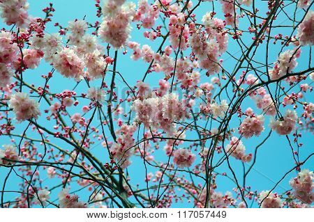 Blooming Spring Tree Branch Background