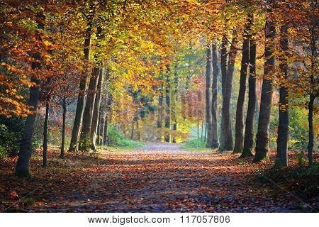 Beautifully lit alley in autumn forest with ground covered with orange leaves. Nachtegalenpark In An