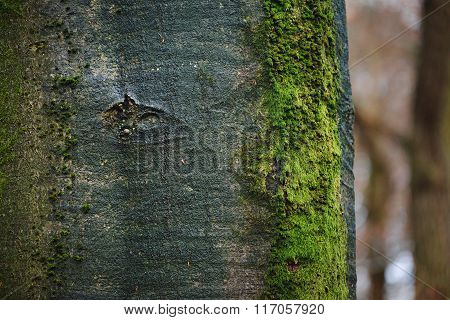 Beech tree trunk covered with moss in Veluwe, the Netherlands