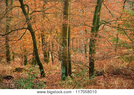 Bright orange trees in autumn forest in Veluwe, the Netherlands