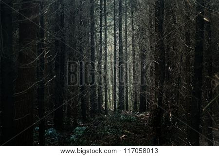 Mysterious dark coniferous forest alley in Veluwe, the Netherlands
