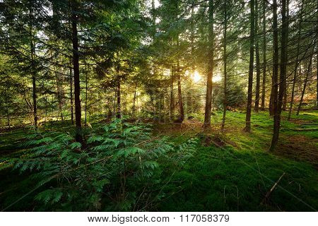 Sunset in a coniferous autumn forest in Veluwe, the Netherlands