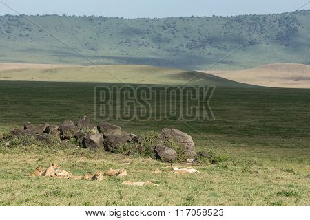 Pride Of African Lions Resting In The Ngorongoro Crater In Tanzania