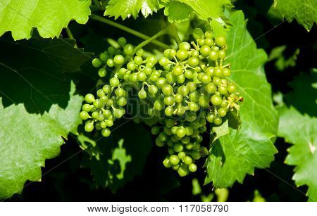 Bunch of grapes during veraison in piedmont