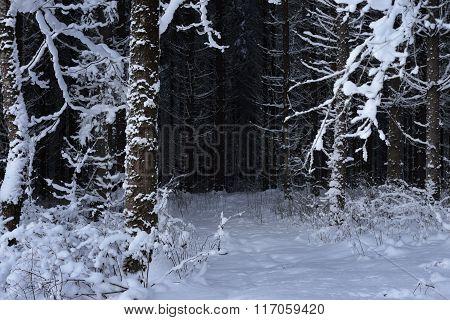 Dark Winter Coniferous Forest